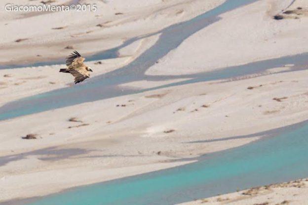 Grifone in volo sul Tagliamento